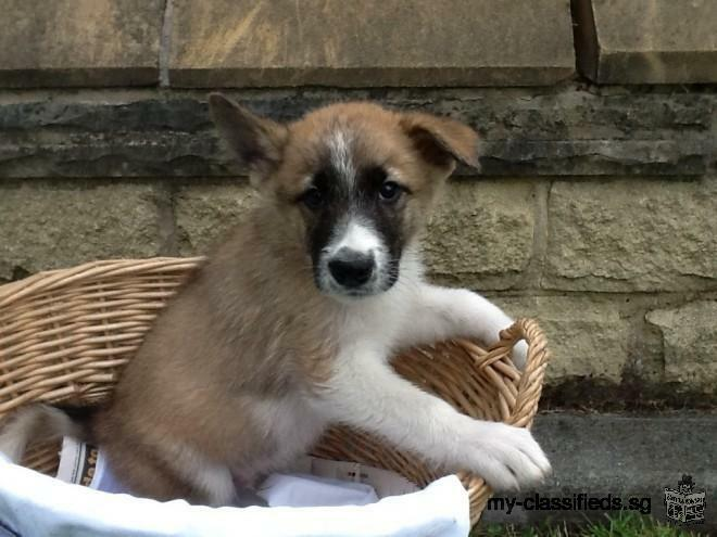 Both male and female Akita puppies for rehome