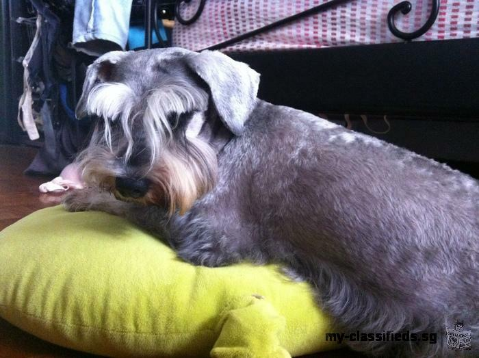Looking for miniature schnauzer stud