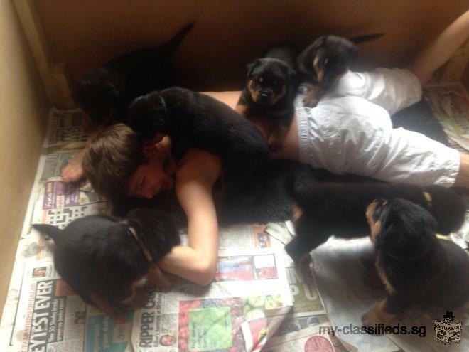Rottweiler puppies ready to go to their new homes