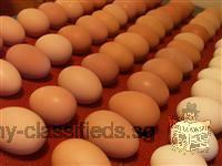 Chicken Broiler Hatching(Ross/Cobb) & Table Eggs Grade A
