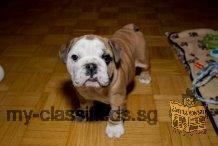 Purebred English Bulldog Puppies for sale.