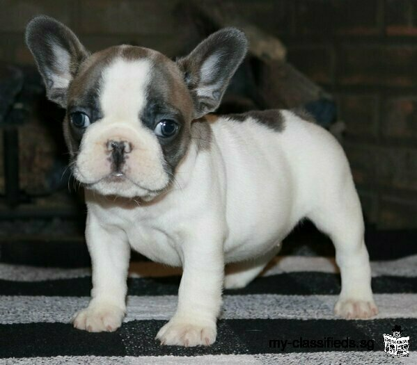 Purebred French and English bulldog puppies for sale