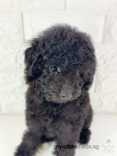 Silver Poodle Puppy Boy