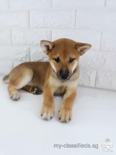 Skc Pedigree Shiba Inu Puppy