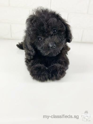 Skc Pedigree chocolate Silver poodle
