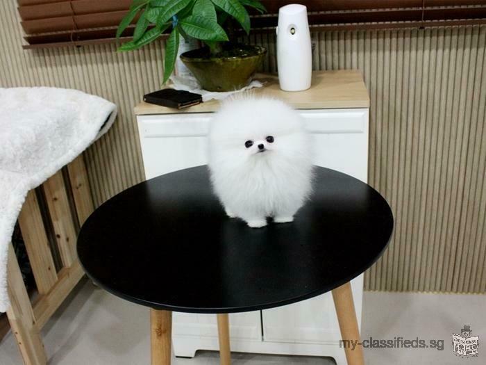 Super Cute Teacup Pomeranian Puppies for adoption