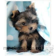 cute and lovely yorkie puppies for sale