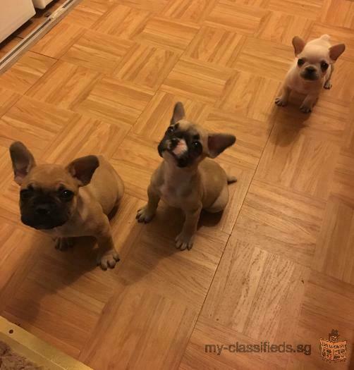 AKC Cream French bulldog puppies