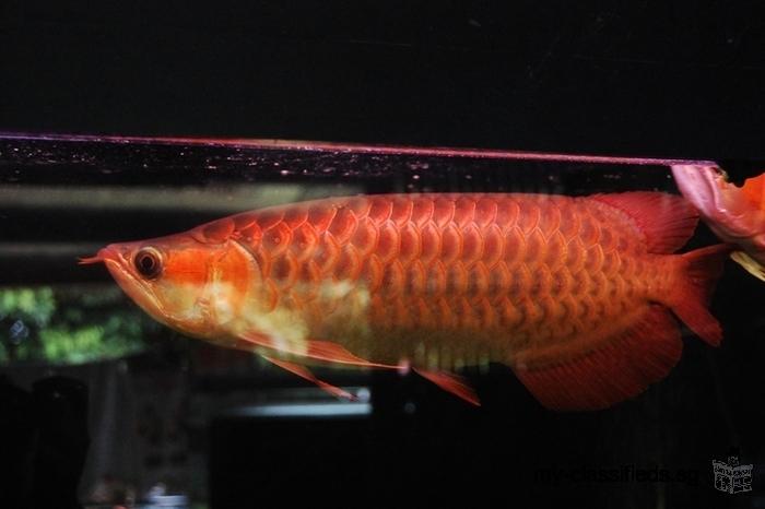 Chili Red Arowana And P12 p13 Black Diamond Rays, Red King Kong Fish Available