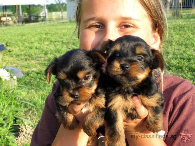 FREE! Y0RKIE puppies to carimg Homes Send us a message (321) 238-8196
