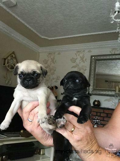 Kc Pug Pup Health Tested Parents Great Lines