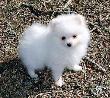 Teacup Pomeranian Puppies Available (719) 982-8517
