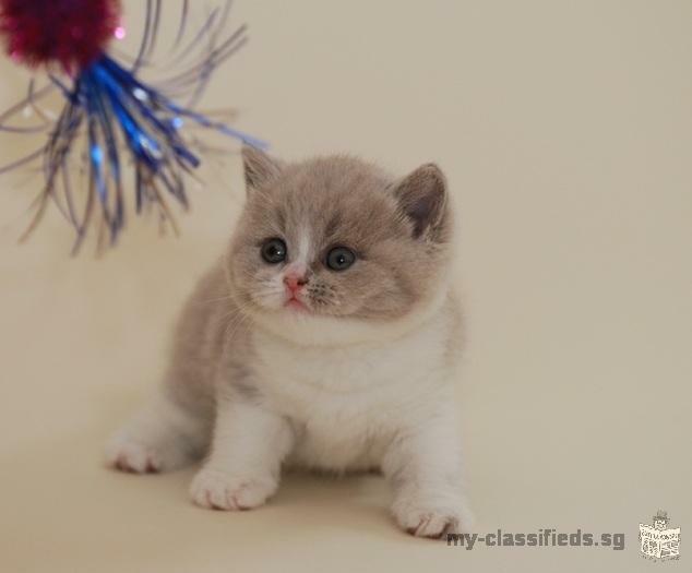 mignon et adorable chaton britannique shorthair prêt
